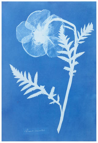 Photo of 'Poppy', Anna Atkins, about 1852. Museum no. PH.381-1981. © Victoria and Albert Museum, London