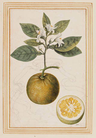 Photo of Sour orange, Citrus aurantium, Vincenzo Leonardi. Museum no. E.427-2009. © Victoria and Albert Museum, London