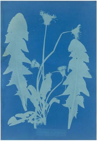 Dandelion - Taraxacum Officinale, photograph by Anna Atkins, 1854. Museum no. PH.382-1981. © Victoria and Albert Museum, London