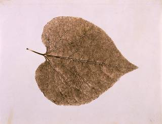 Leaf study, photograph by Calvert Richard Jones, 1840. Museum no. PH.66-1983. © Victoria and Albert Museum, London