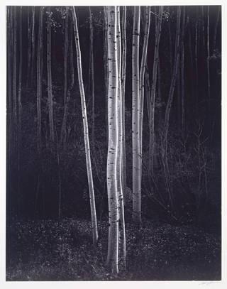 Ansel Adams, Aspens, Northern New Mexico, 1958. Museum no. PH.1376-1980. © Ansel Adams
