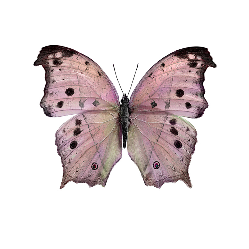 Salamis butterfly print
