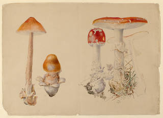 Examples of fungi - Yellow Grisette (Amanita Crocea) and Scarlet Fly Cap (Amanita Muscaria), by Beatrix Potter, 1897, Ullock, Cumbria, watercolour and pen and ink over pencil. Museum no. BP.244, Linder Bequest cat. no. LB 292. © Victoria and Albert Museum, London, courtesy Frederick Warne & Co Ltd.
