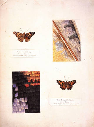 Studies of a Tortoiseshell butterfly and a Painted Lady butterfly, with magnified studies of the wings, by Beatrix Potter, about 1887, watercolour and pen and ink on card. Museum no. BP.249, Linder Bequest cat. no. LB 335. © Image courtesy Frederick Warne & Co Ltd.