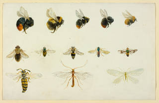 Studies of bees and other insects, by Beatrix Potter, about 1895, watercolour over pencil. Linder Collection cat. no. LC 19/B/5. © Victoria & Albert Museum, London, courtesy Frederick Warne & Co Ltd. and The Trustees of the Linder Collection