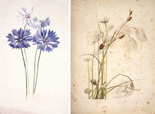 (Left to right:) Drawing of cornflowers, by Beatrix Potter, about 1880, watercolour over pencil. Museum no. BP.904, Linder Bequest cat. no. LB 29. © Image courtesy Frederick Warne & Co Ltd.; Drawing of cotton sedge with white wildflowers, by Beatrix Potter, late 19th century/early 20th century, watercolour and pen and ink over pencil. Museum no. BP.912(iii), Linder Bequest cat. no. LB 254. © Image courtesy Frederick Warne & Co Ltd.
