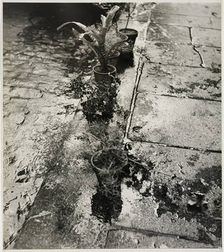 Plants in a Gutter, Paris, photograph by Ilse Bing, 1952, gelatin silver print. Museum no. E.3026-2004. © Victoria and Albert Museum, London/Estate of Ilse Bing, courtesy Michael Mattis