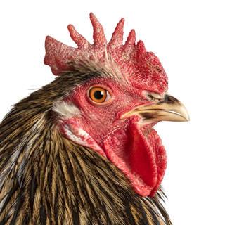 Photo of a brown chicken up close. Orange eye.