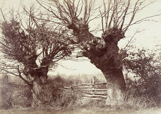 Hedgerow Trees at Clerkenleap, Worcestershire, photograph by Benjamin Brecknell Turner, albumen print from calotype negative, about 1850, England. Museum no. PH.15-1982. © Victoria and Albert Museum, London