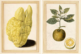 (Left) Watercolour of a misshapen or 'digitated' citron, (right) watercolour of a sour orange, by Vincenzo Leonardi, from the 'Paper Museum' of Cassiano dal Pozzo, about 1640, Rome, Italy. Museum no. E.426 & 427-2009 &. © Victoria and Albert Museum, London