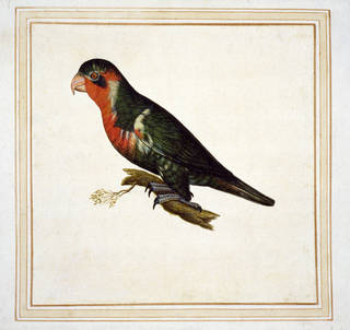 Watercolour, 'Possibly ornate lorikeet, Tricholglossus ornatus', by Vincenzo Leonardi, early to mid 17th century, Italy. Museum no. CIRC.13-1925. © Victoria and Albert Museum, London