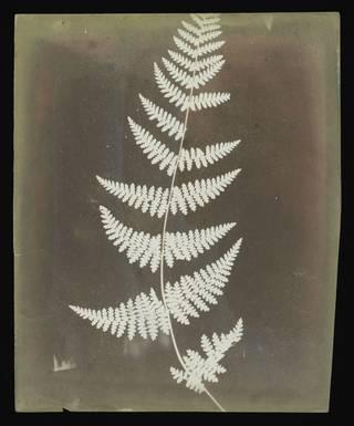 Photogenic drawing of a fern; brown/slight reddish colour.