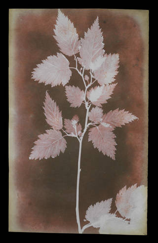 Red and purple negative image of leaves on a stem
