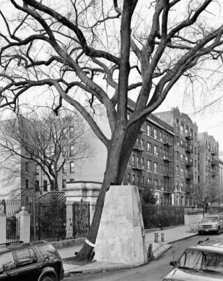 Elm tree located beside a road. The tree leans against a concrete support. There are housing apartments in the background.